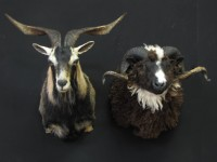 Sheep and Goat mount