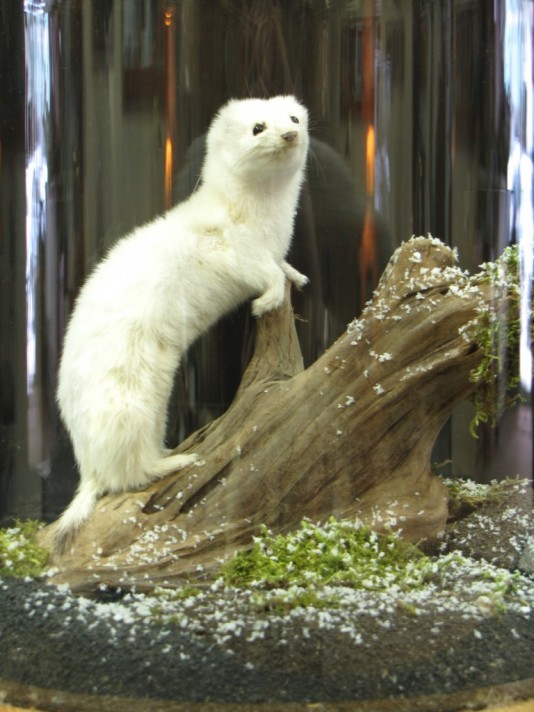 Ermine (short-tailed weasel)