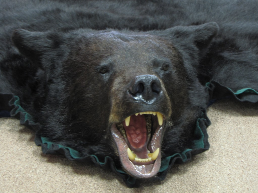 bear rug mount - Bear Rugs